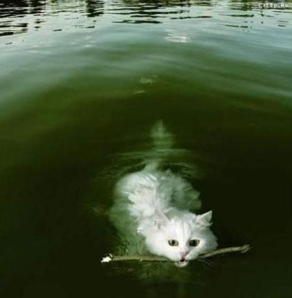 кот плывёт с палочкой во рту