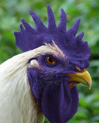 фиолетовый петух