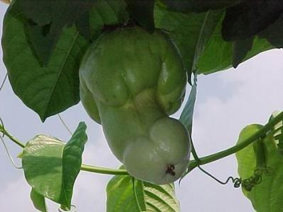 Фаллические растения