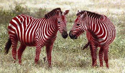 красные жирафы