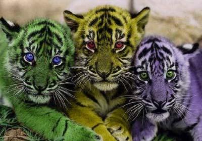 разноцветные тигрята