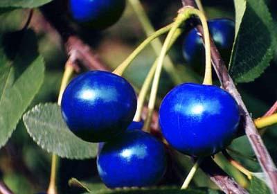 синии вишни