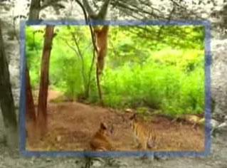 Обезьяна прикалывается над тиграми