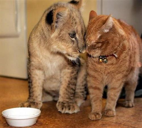 тигрёнок и кот